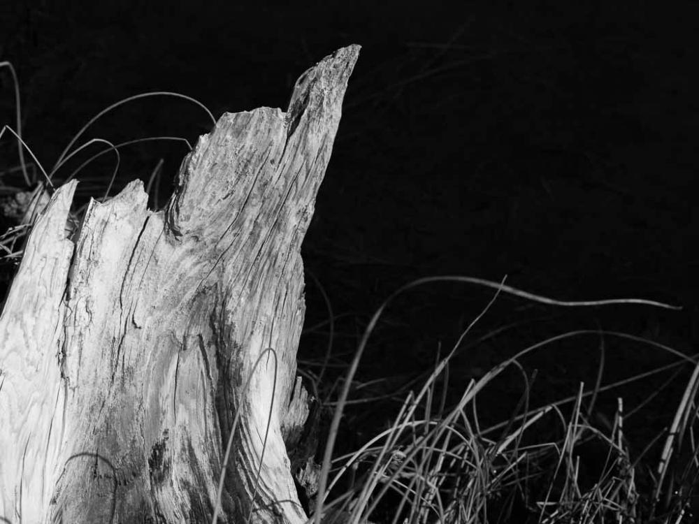 Black and white photo of tree trunk