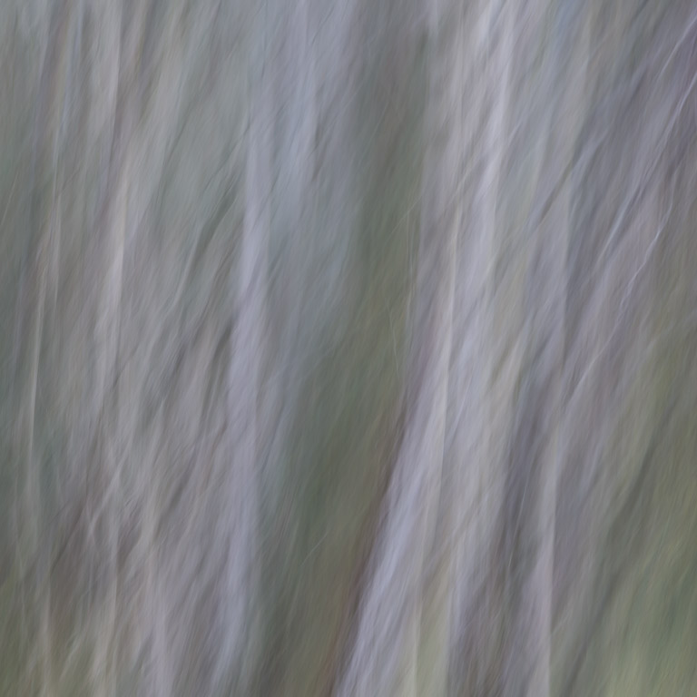 Abstract photo of birch trees