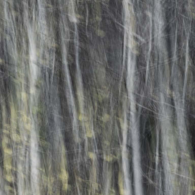 Photo of birch trees