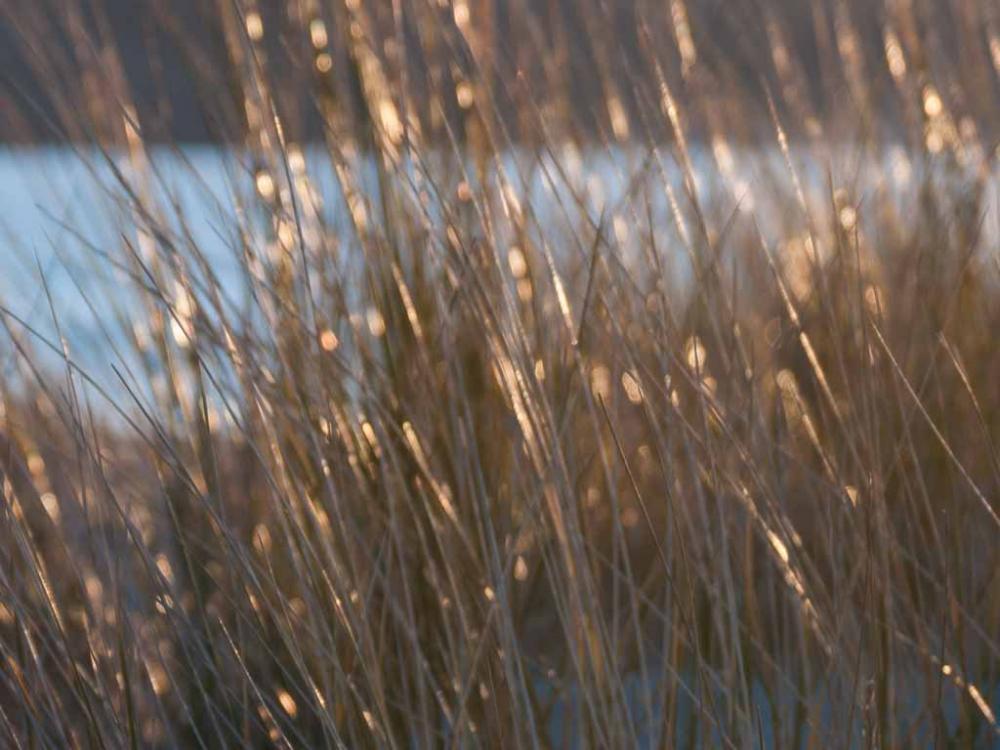 Photo of dune grass in sunlight
