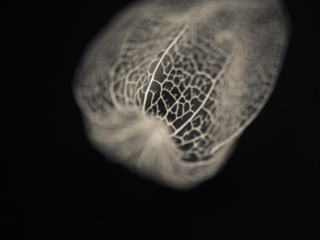 physalis calyx