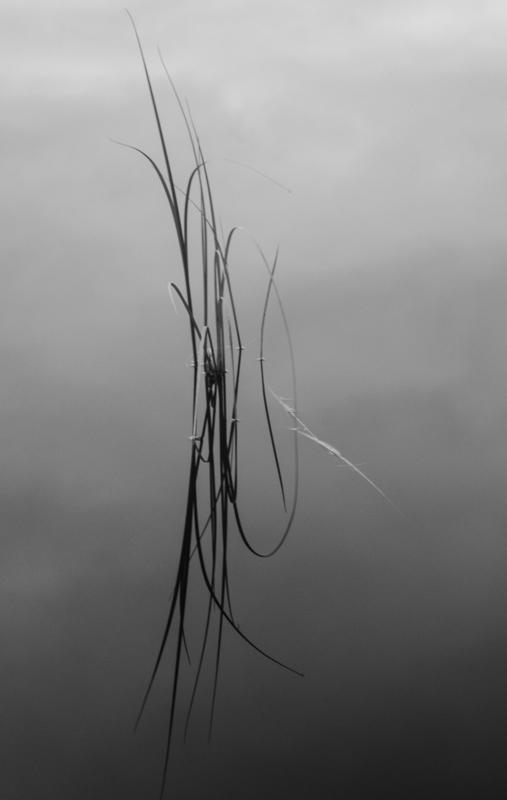 reeds in loch